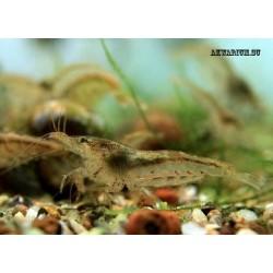 Креветка неокаридина