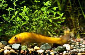Gyrinocheilus2