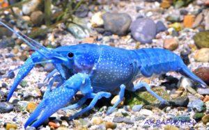 Флоридский синий рак.