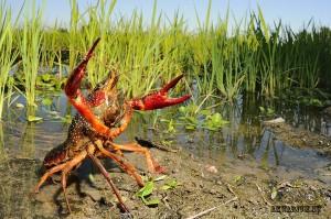 Красный флоридский болотный рак (Procambarus clarkii) 3
