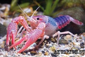 Красный флоридский болотный рак (Procambarus clarkii)2