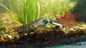 Рак голубая луна (Blue Moon lobster)