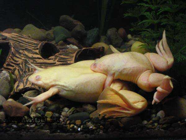 Размножение шпорнцовых лягушок