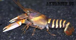Зебровый рак (Cherax Papuanus)3